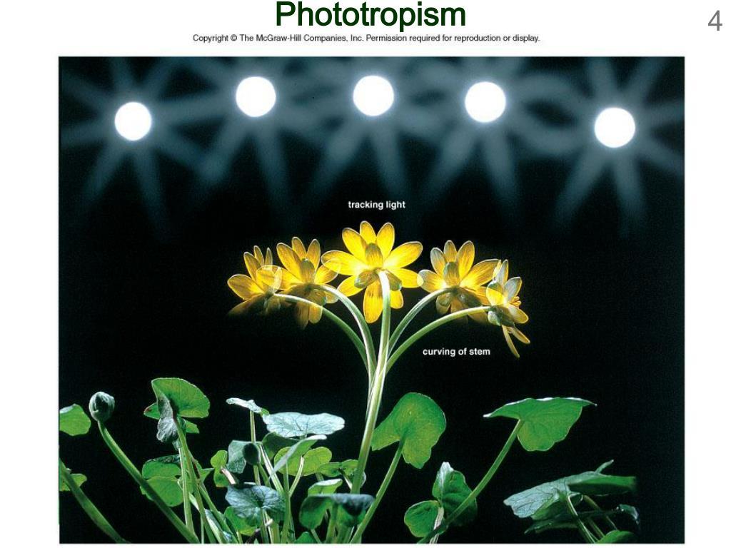 Phototropism