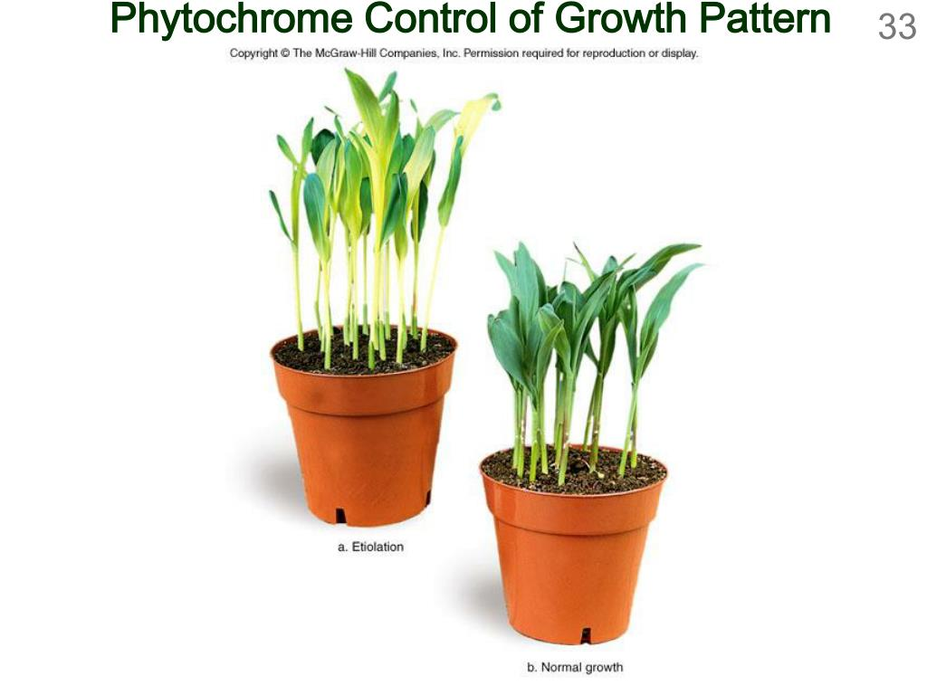 Phytochrome Control of Growth Pattern