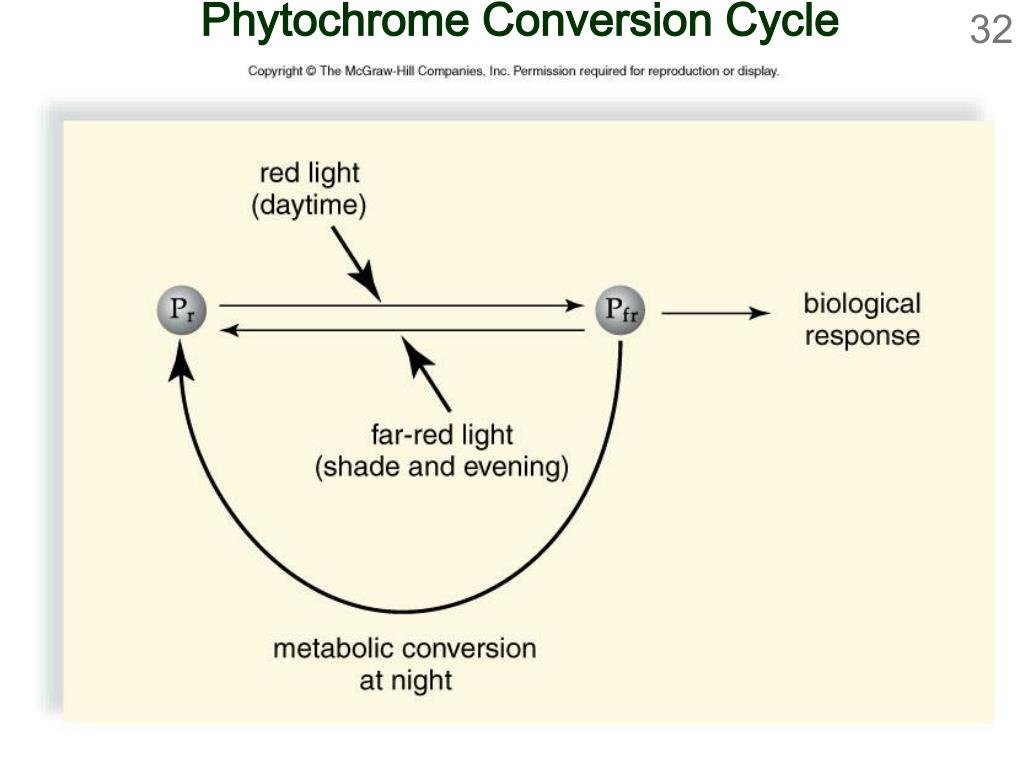 Phytochrome Conversion Cycle