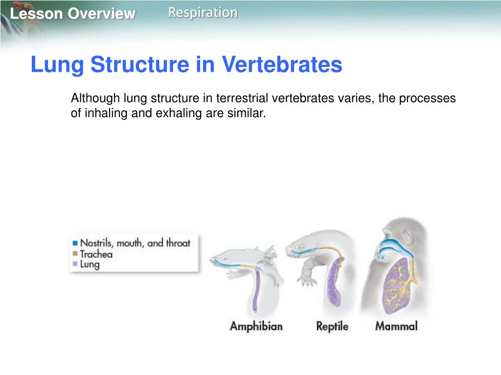 Lung Structure in Vertebrates