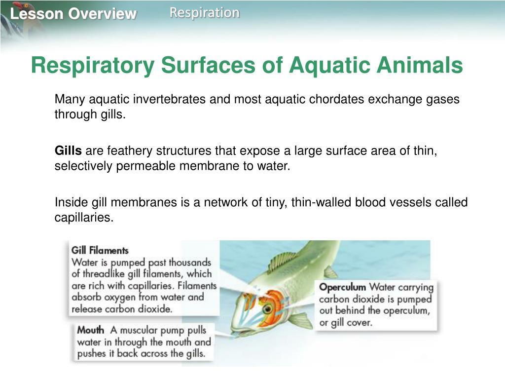 Respiratory Surfaces of Aquatic Animals