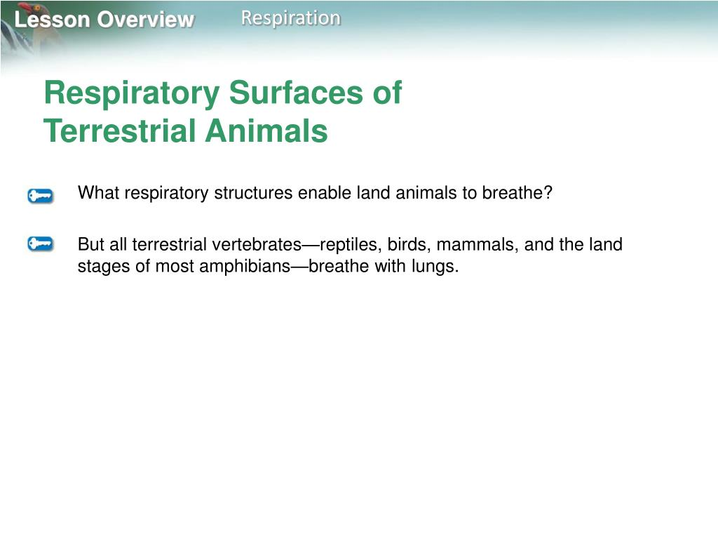 Respiratory Surfaces of