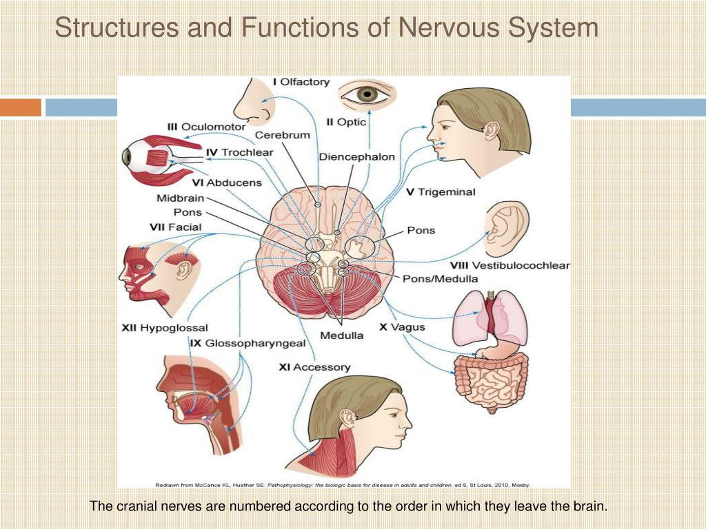 describe the five major structures of the brain and their functions The working machine of the humans is the brain and here is the detailed review of basic human brain structure and their functions in the body.