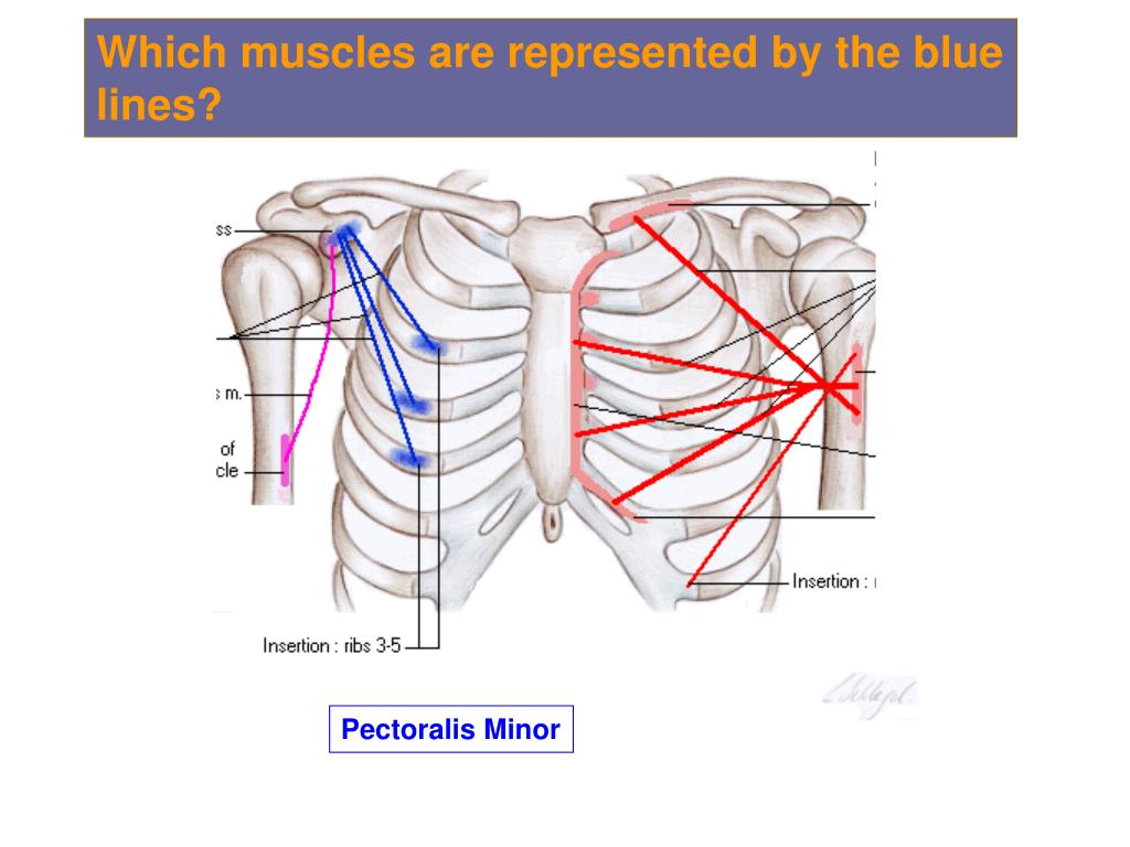 Which muscles are represented by the blue lines?