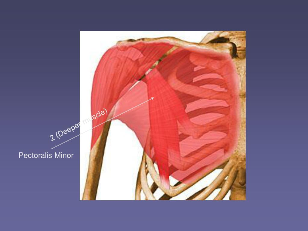 2 (Deeper muscle)