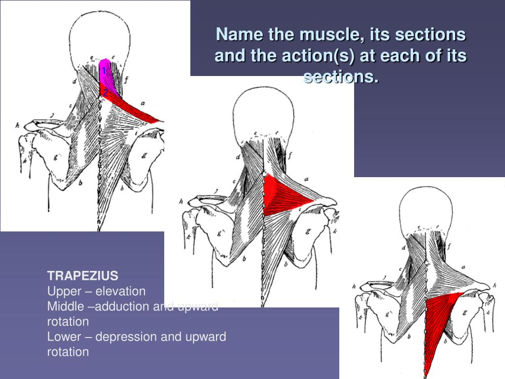 Name the muscle, its sections and the action(s) at each of its sections.