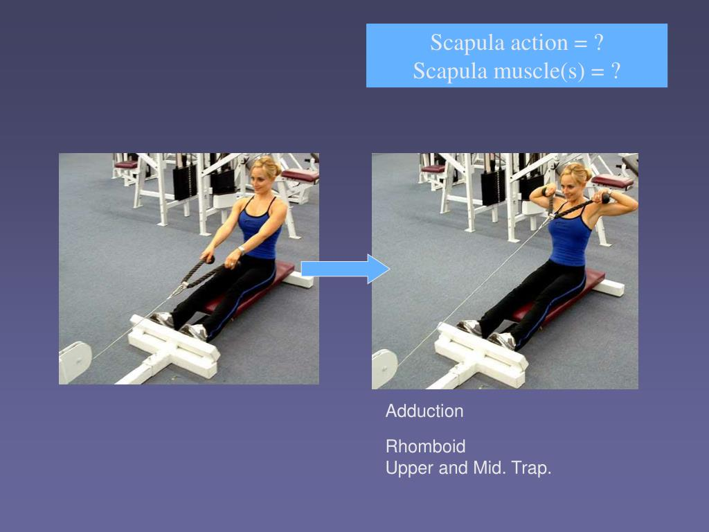 Scapula action = ?