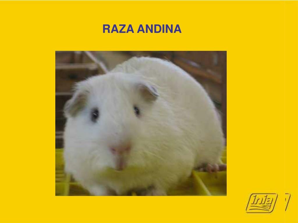 RAZA ANDINA