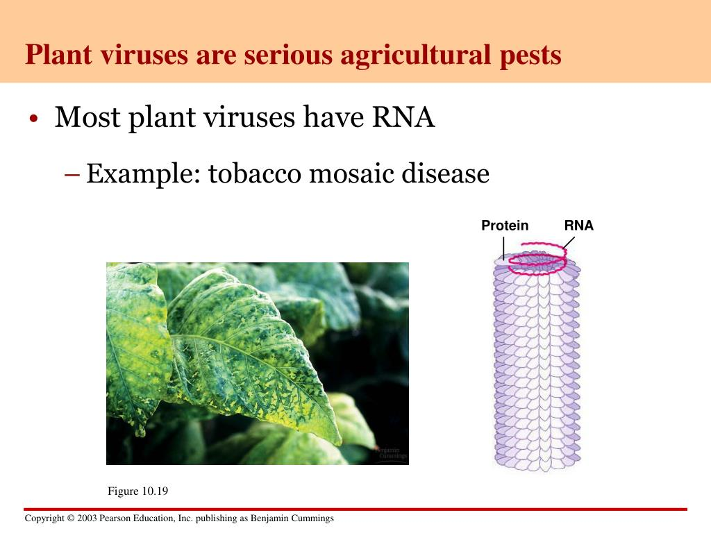Plant viruses are serious agricultural pests