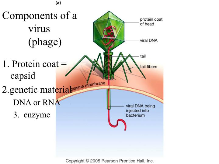 Components of a virus (phage)