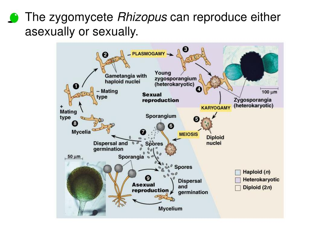 The zygomycete