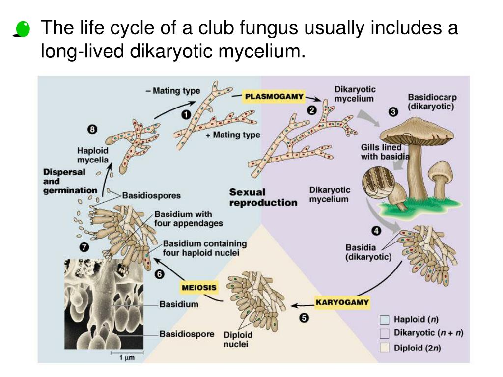 The life cycle of a club fungus usually includes a long-lived dikaryotic mycelium.