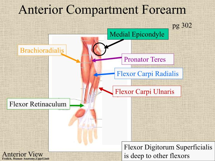 Anterior Compartment Forearm