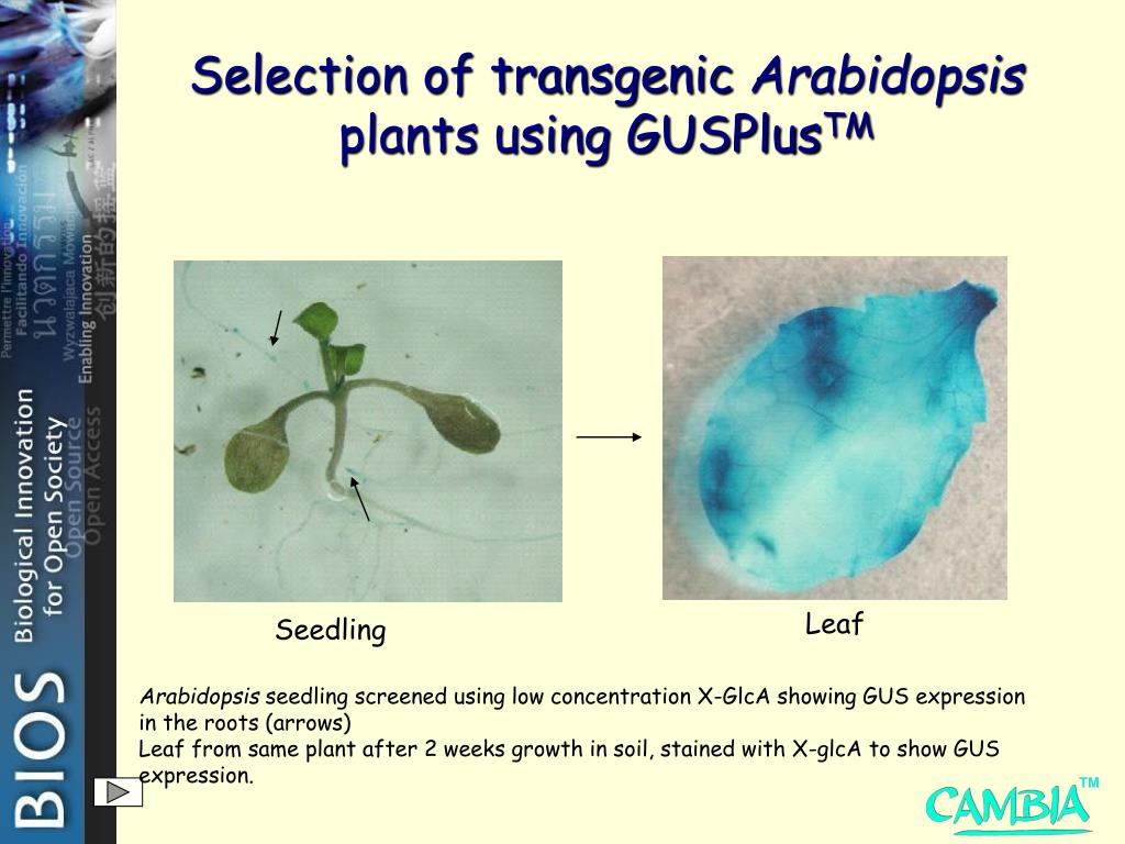 Selection of transgenic