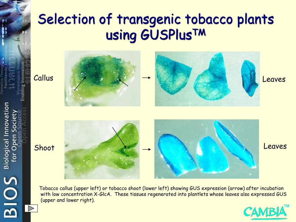 Selection of transgenic tobacco plants using GUSPlus