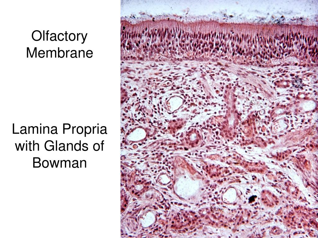 Olfactory Membrane
