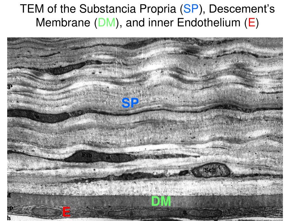 TEM of the Substancia Propria (