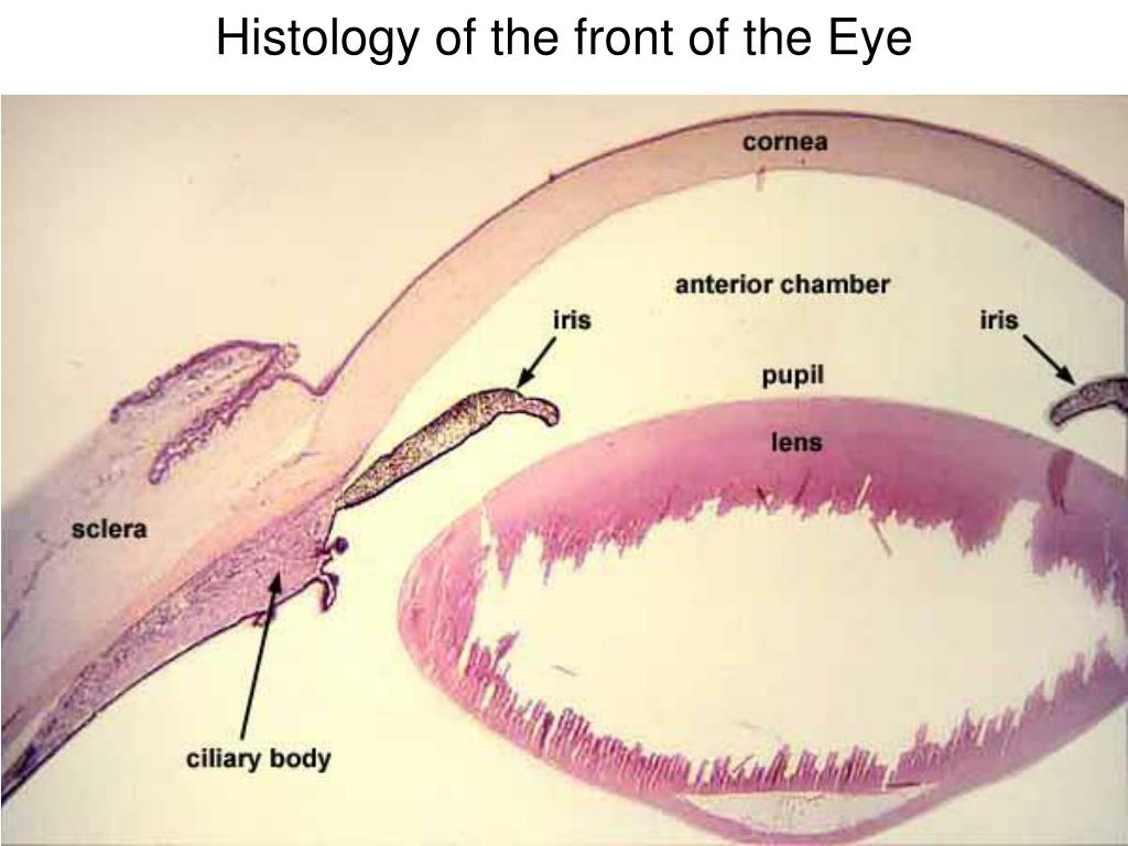 Histology of the front of the Eye