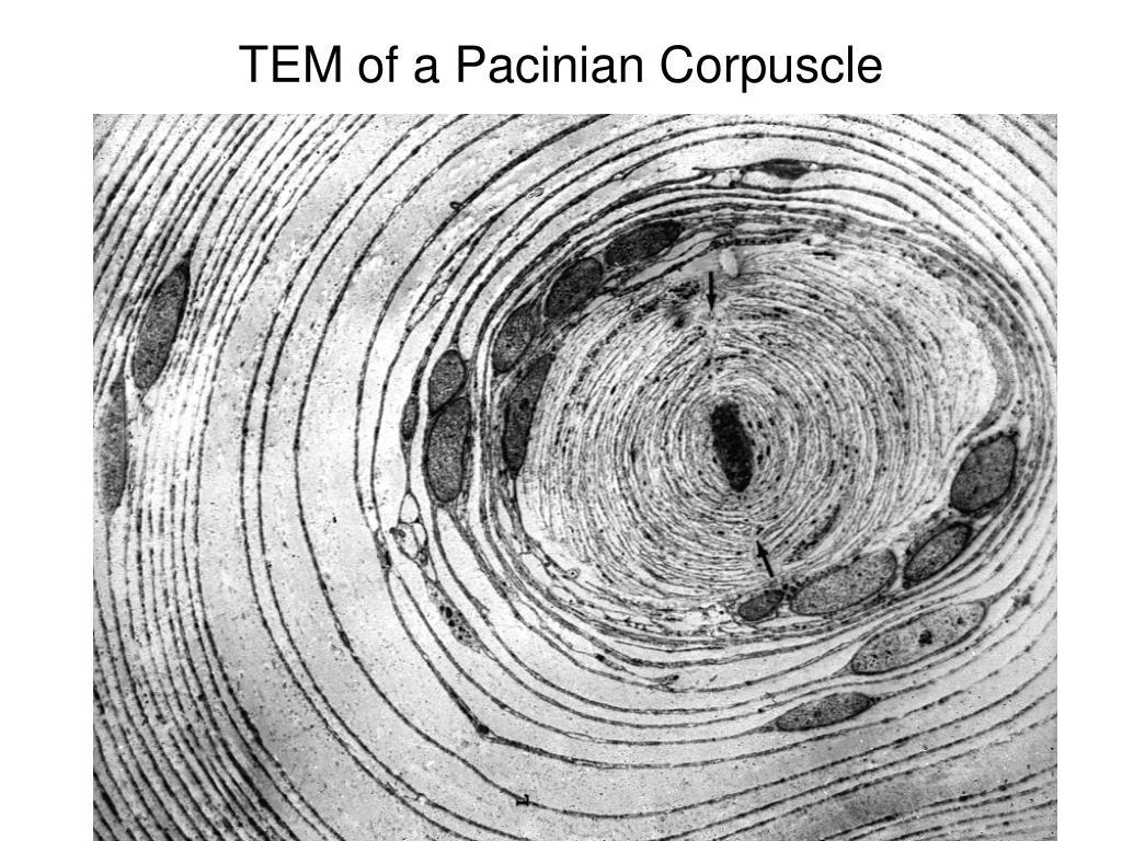 TEM of a Pacinian Corpuscle
