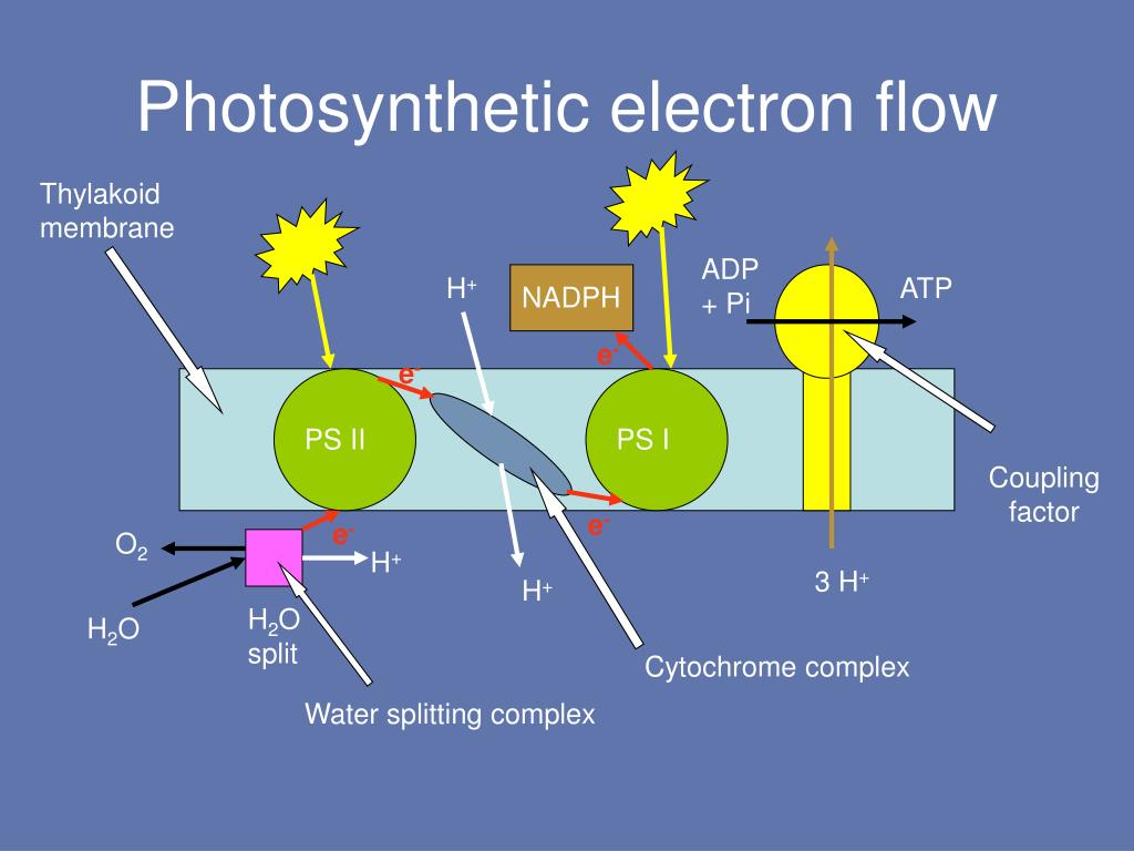 Photosynthetic electron flow
