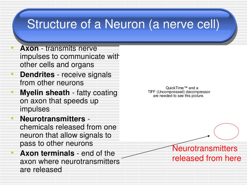 Structure of a Neuron (a nerve cell)