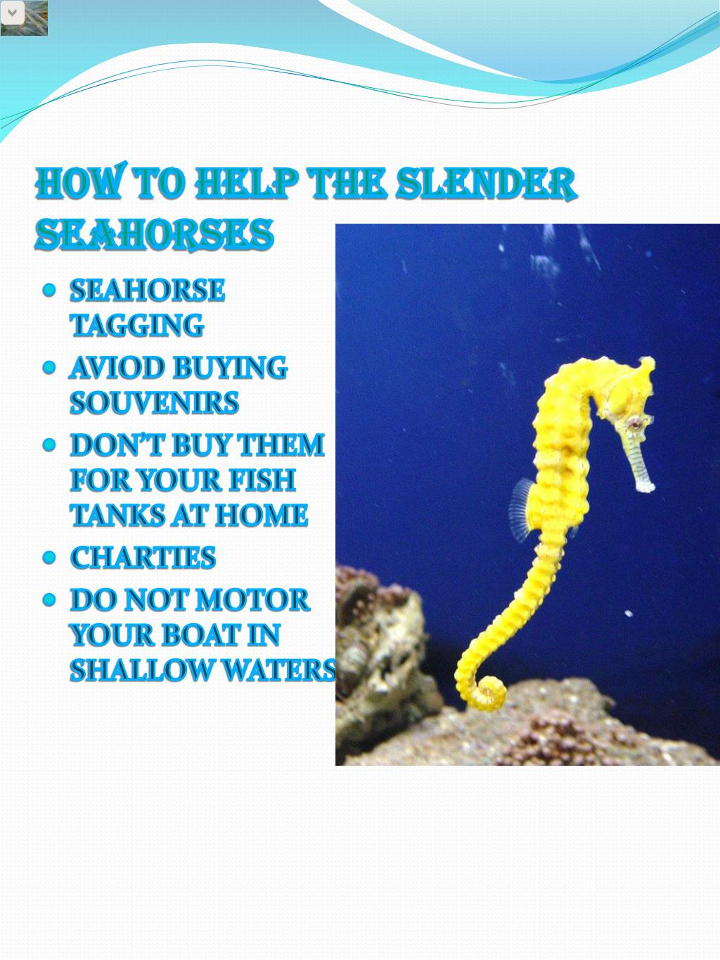 HOW TO HELP THE SLENDER SEAHORSES