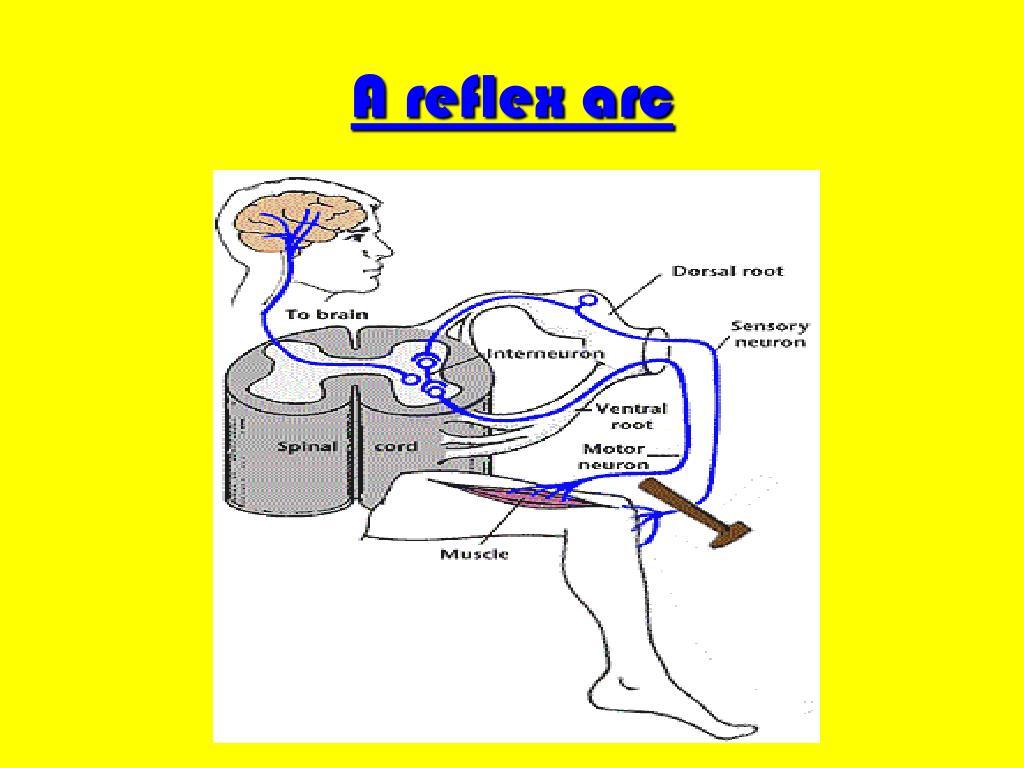 A reflex arc