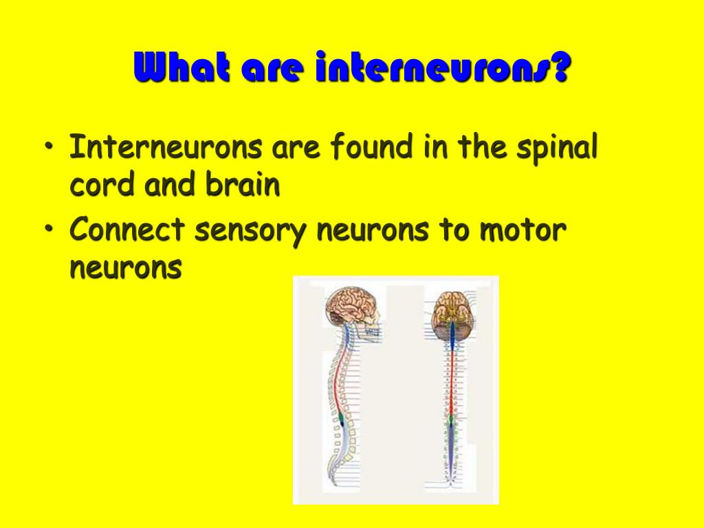 What are interneurons?