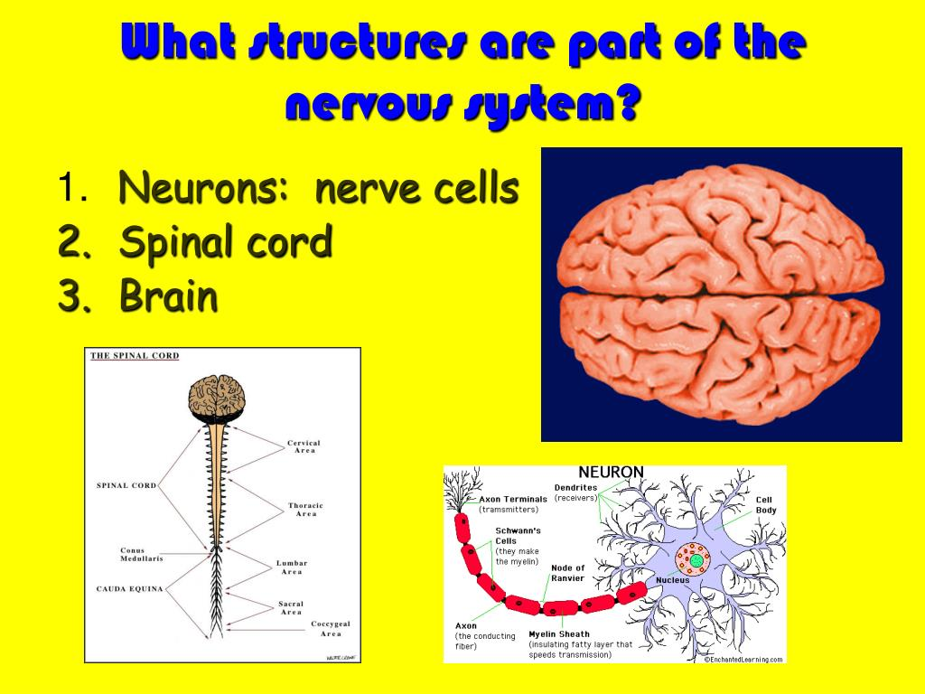 What structures are part of the nervous system?