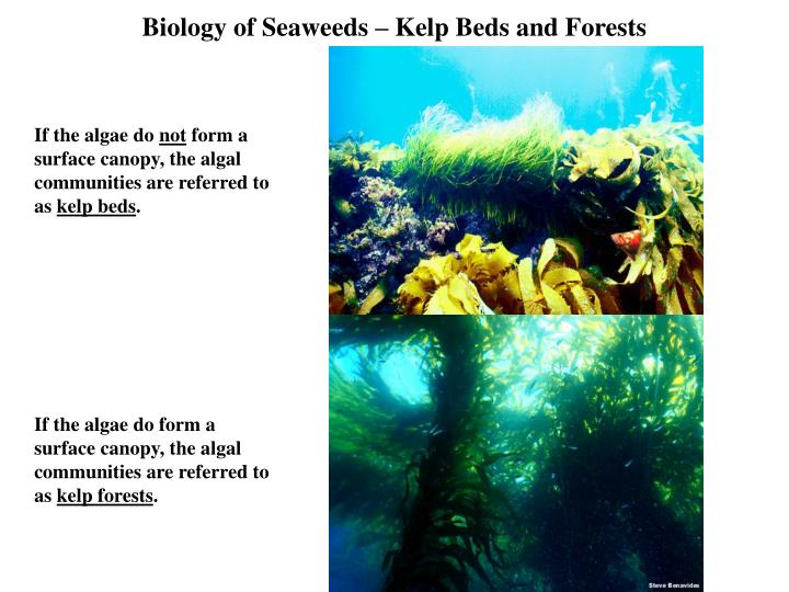 Biology of seaweeds kelp beds and forests3