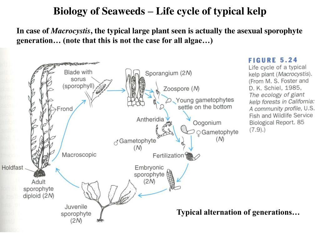 Biology of Seaweeds – Life cycle of typical kelp