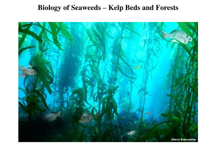 Biology of Seaweeds – Kelp Beds and Forests