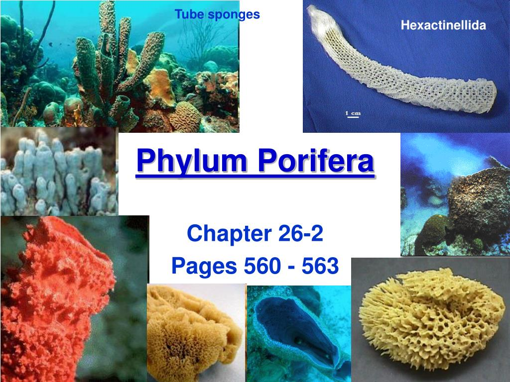 a description of phylum porifera Department of zoology at andc/zoology museum/museum specimens/porifera from wikieducator  phylum porifera date & time : 12, june 2018 09:03.