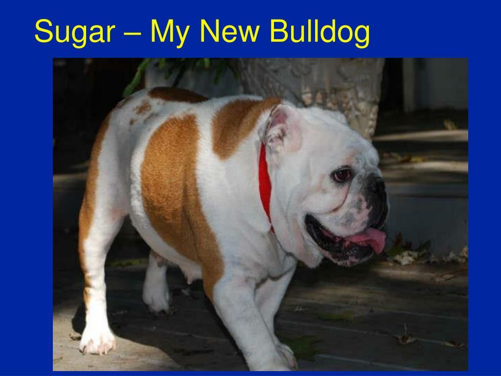 Sugar – My New Bulldog