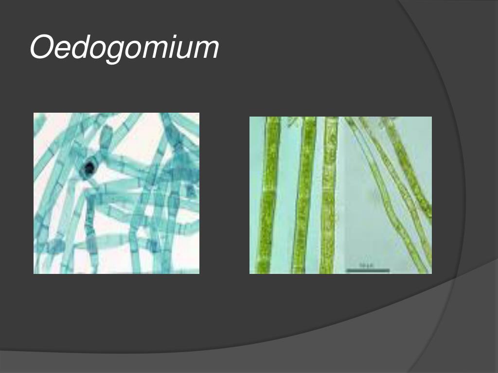 Oedogomium