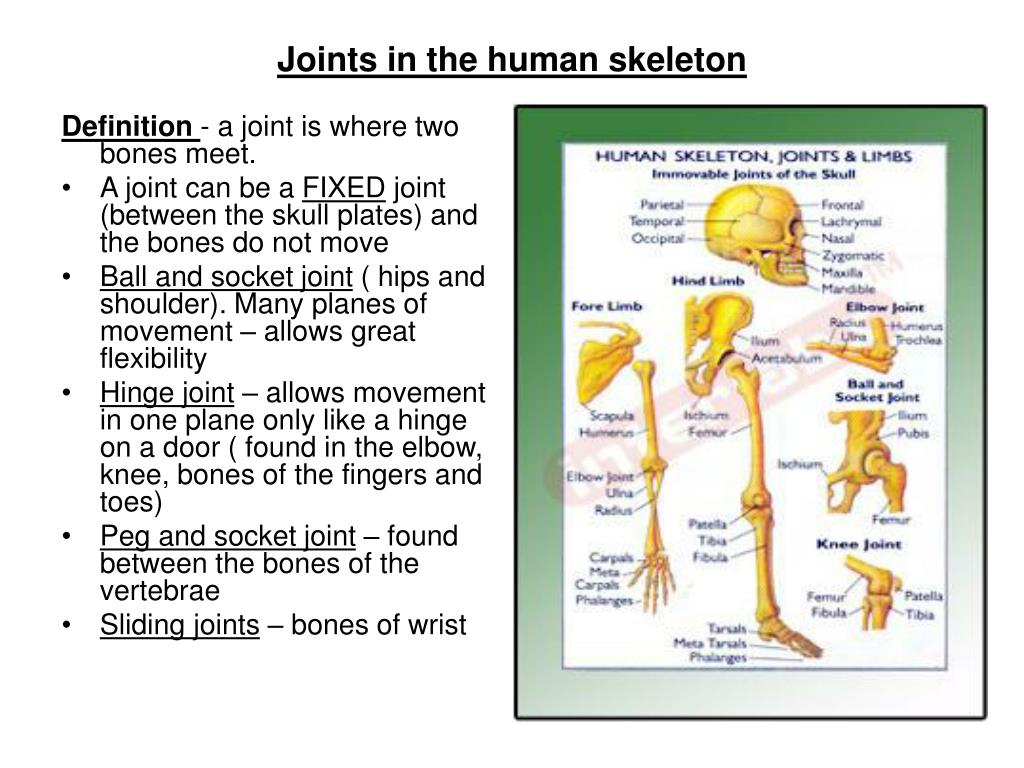 ppt - bones in the human skeleton powerpoint presentation - id:763141, Skeleton