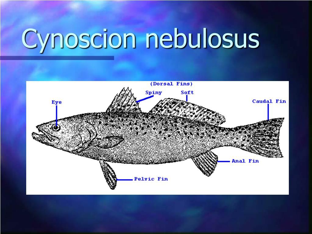 Cynoscion nebulosus