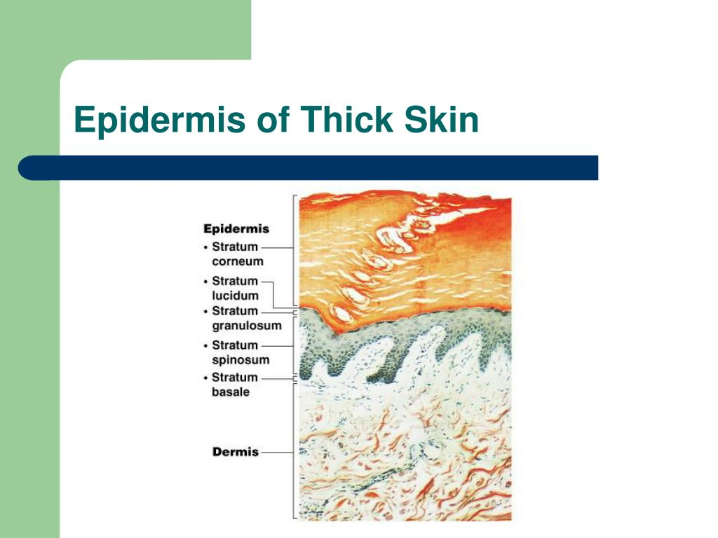 Epidermis of Thick Skin