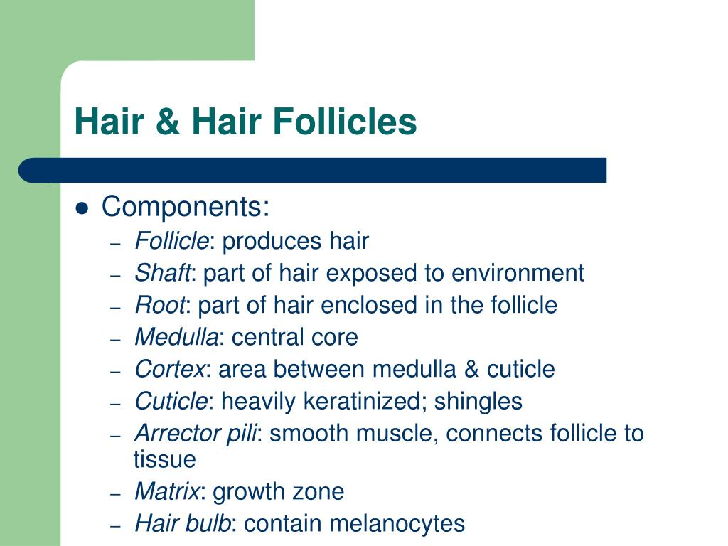 Hair & Hair Follicles