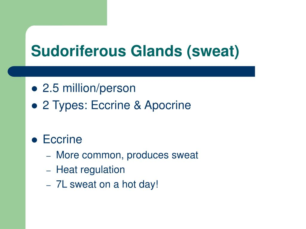 Sudoriferous Glands (sweat)