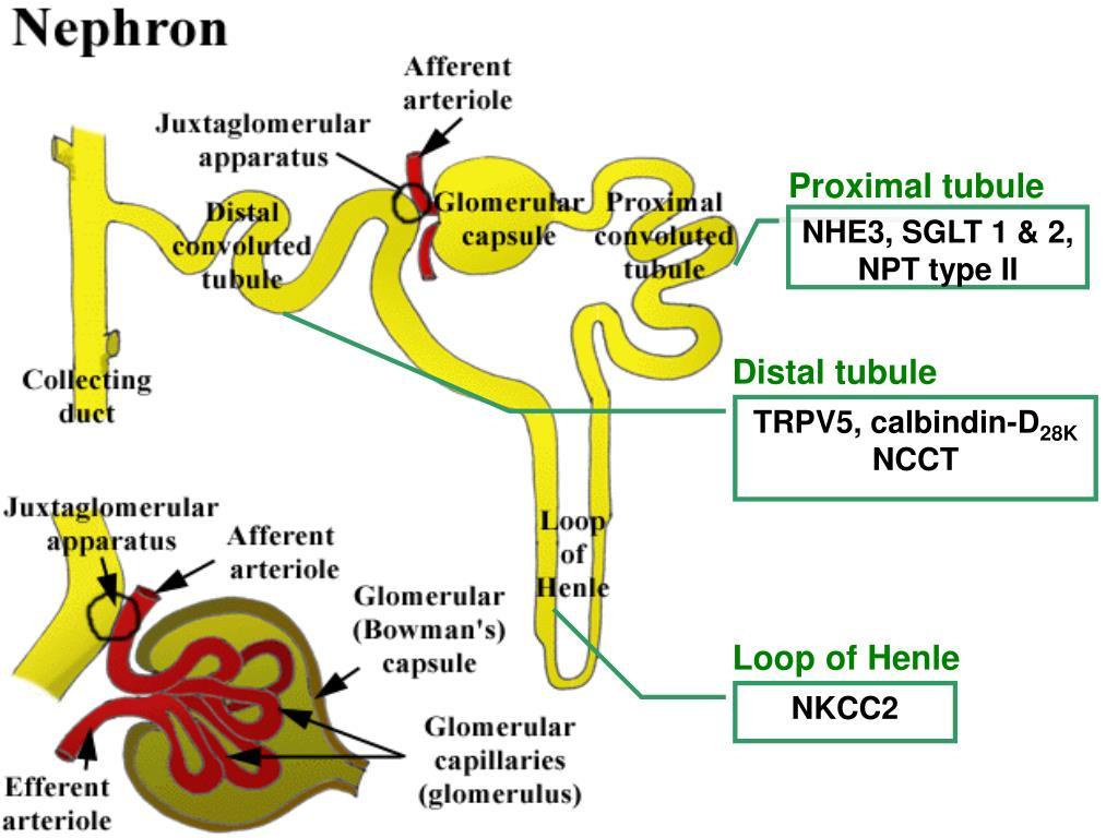 Proximal tubule