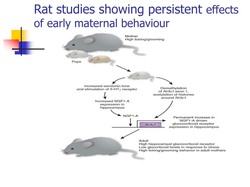 Rat studies showing persistent