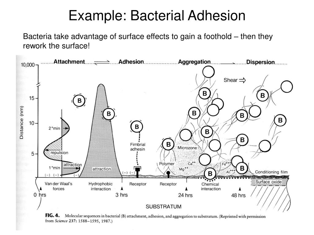 Example: Bacterial Adhesion