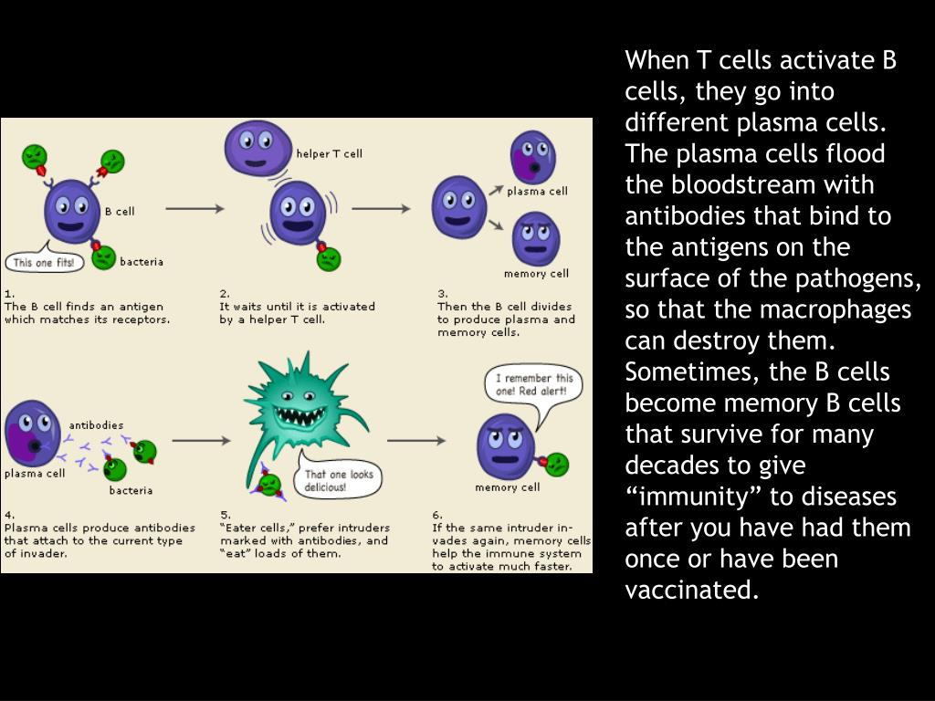 "When T cells activate B cells, they go into different plasma cells. The plasma cells flood the bloodstream with antibodies that bind to the antigens on the surface of the pathogens, so that the macrophages can destroy them. Sometimes, the B cells become memory B cells that survive for many decades to give ""immunity"" to diseases after you have had them once or have been vaccinated."