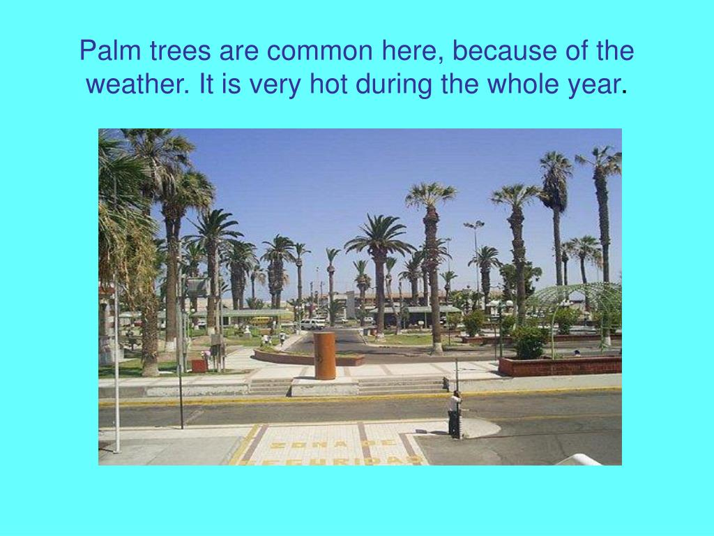 Palm trees are common here, because of the weather. It is very hot during the whole year