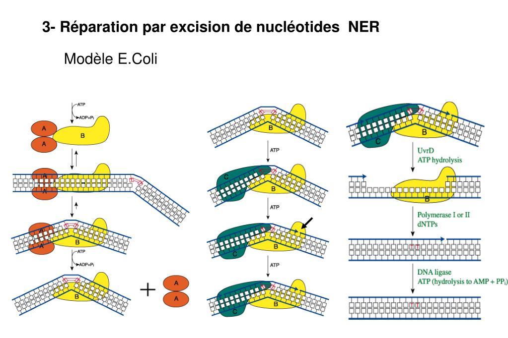 3- Réparation par excision de nucléotides  NER