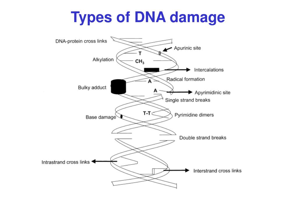 Types of DNA damage