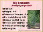 big bluestem andropogon gerardii