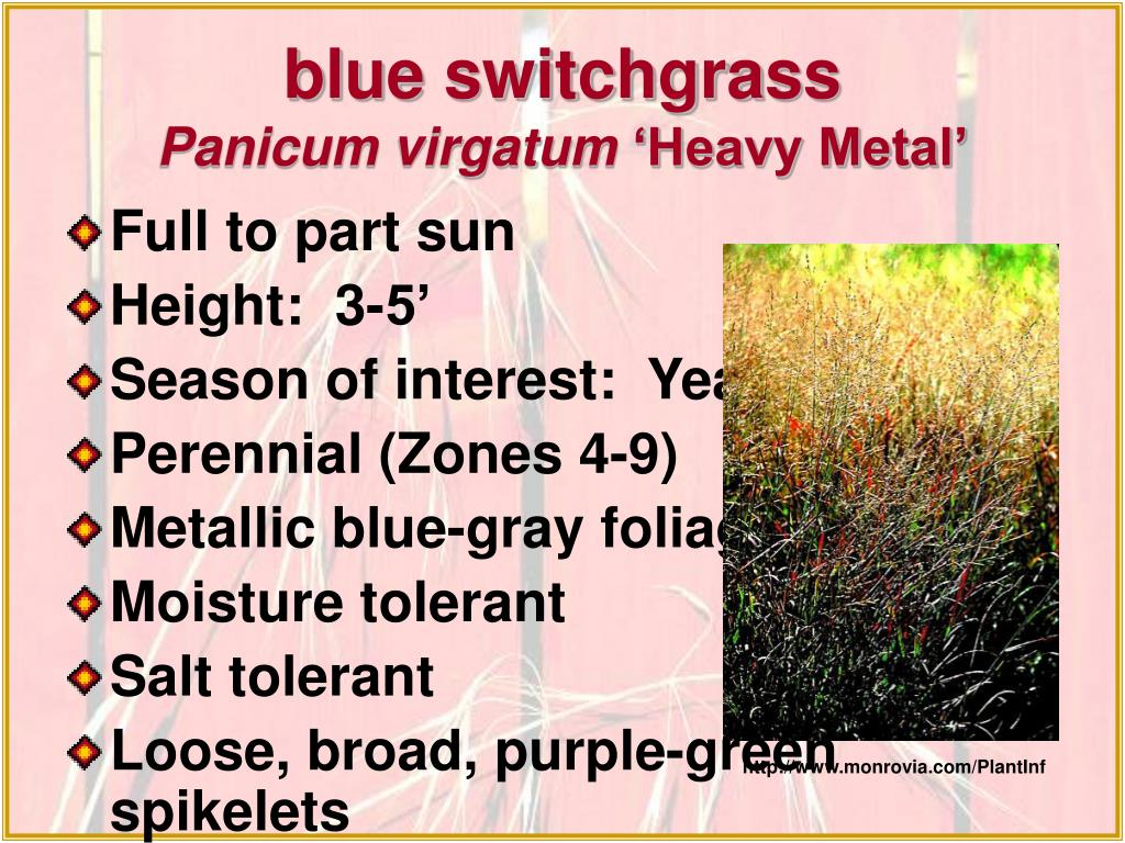 blue switchgrass