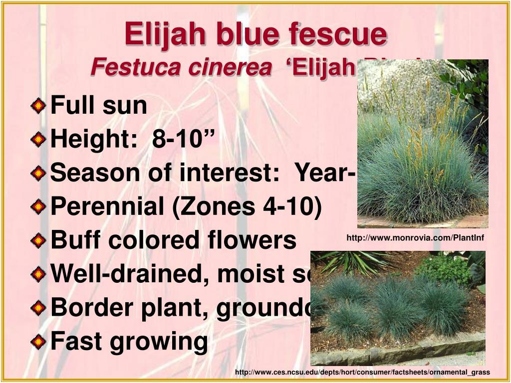 Elijah blue fescue